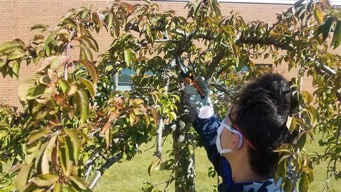 student pruning dead growth from the weeping cherry.